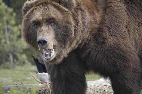 Soviet-Russian-Bear